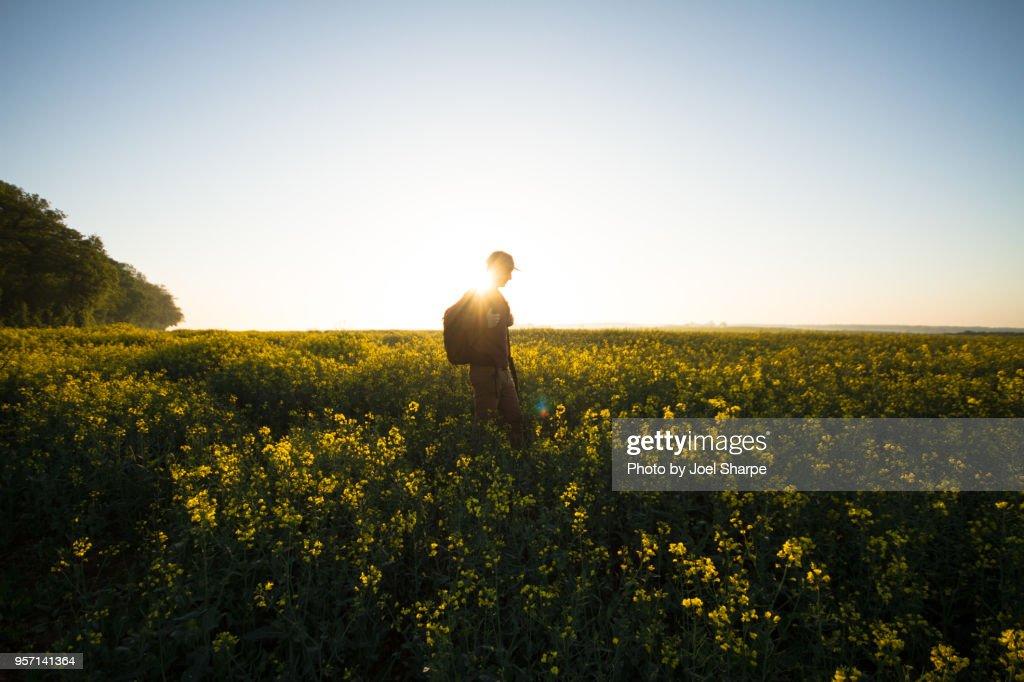 A Man Hiking Through Canola Fields at Dawn : Stock Photo