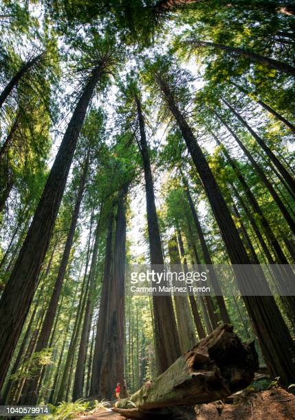 man hiking through the redwoods, california. usa. - sequoia national park stock pictures, royalty-free photos & images