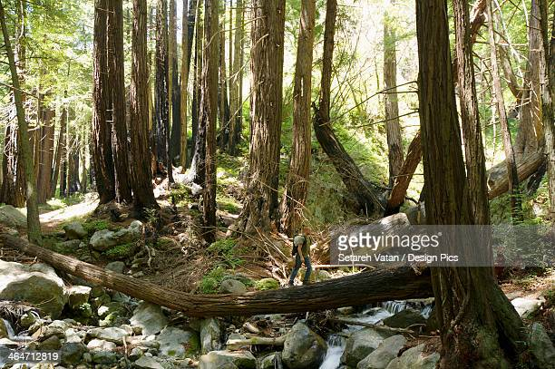 a man hiking through the redwoods on top of a tree stump in the limekiln state campground region - state park stock pictures, royalty-free photos & images