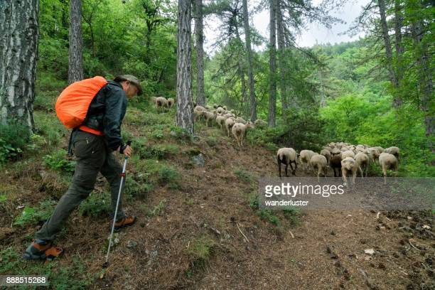 Man hiking with sheep on transumanza
