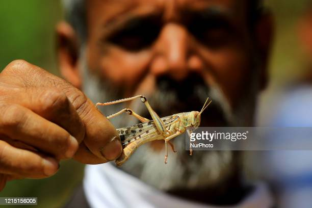 A man hold locust during the swarms of locust attack in the residential areas of Jaipur Rajasthan Monday May 25 2020 More than half of Rajasthans 33...
