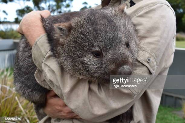 man holding a wombat, tasmania, australia. - marsupial imagens e fotografias de stock