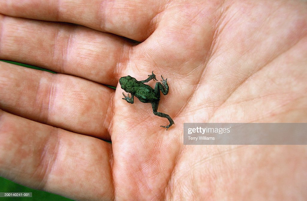 Man holding baby common toad (Bufo bufo) on palm of hand, close-up : Stock Photo