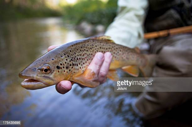 man holding brown trout before releasing it. - brown trout stock pictures, royalty-free photos & images