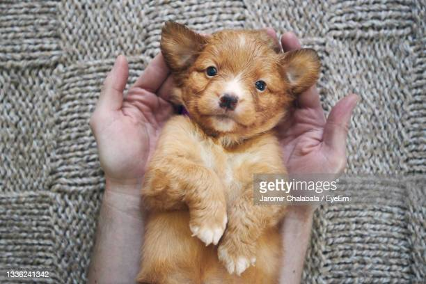 man holding cute puppy in palms of hands. cute nova scotia duck tolling retriever looking at camera - nova scotia duck tolling retriever stock pictures, royalty-free photos & images