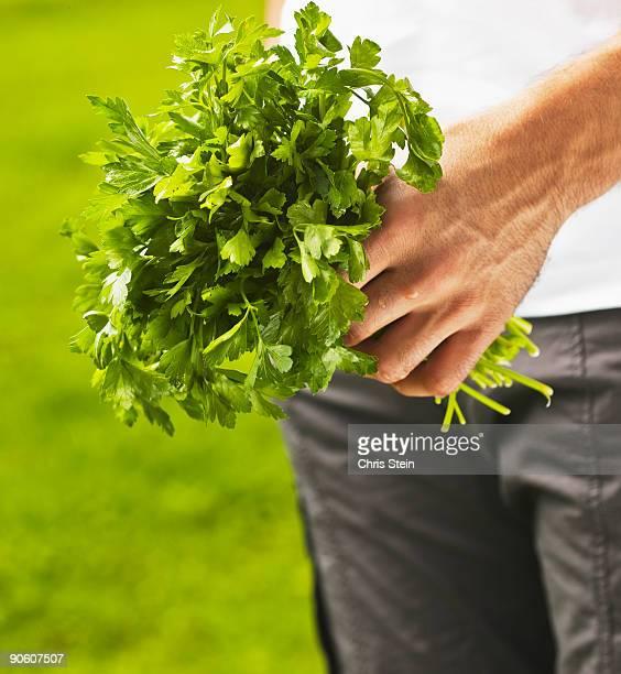 Man holding fresh picked Italian parsley.