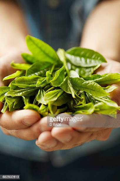 man holding green tea leaves - abundance stock pictures, royalty-free photos & images