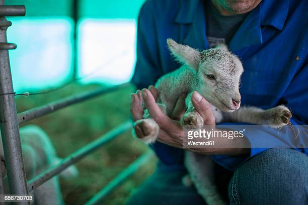 Man holding little lamb on farm