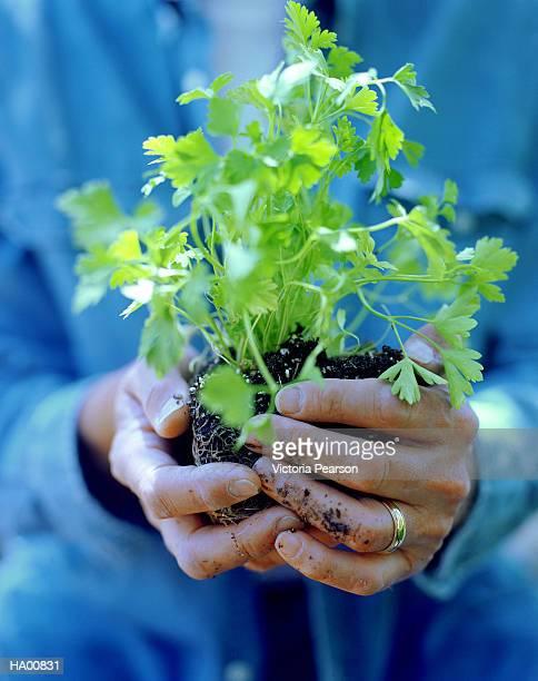 Man holding parsley (Petroselinum sativum) in soil in hands, close-up