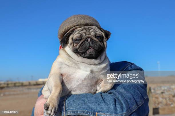 man holding pug - obscured face stock pictures, royalty-free photos & images