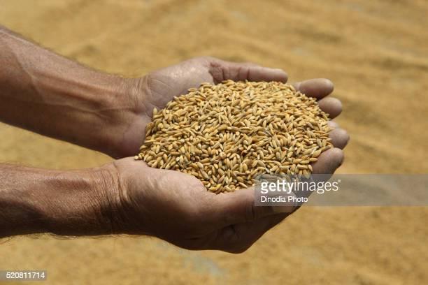 Man holding rice grains oryza sativa in hand, Assam, India