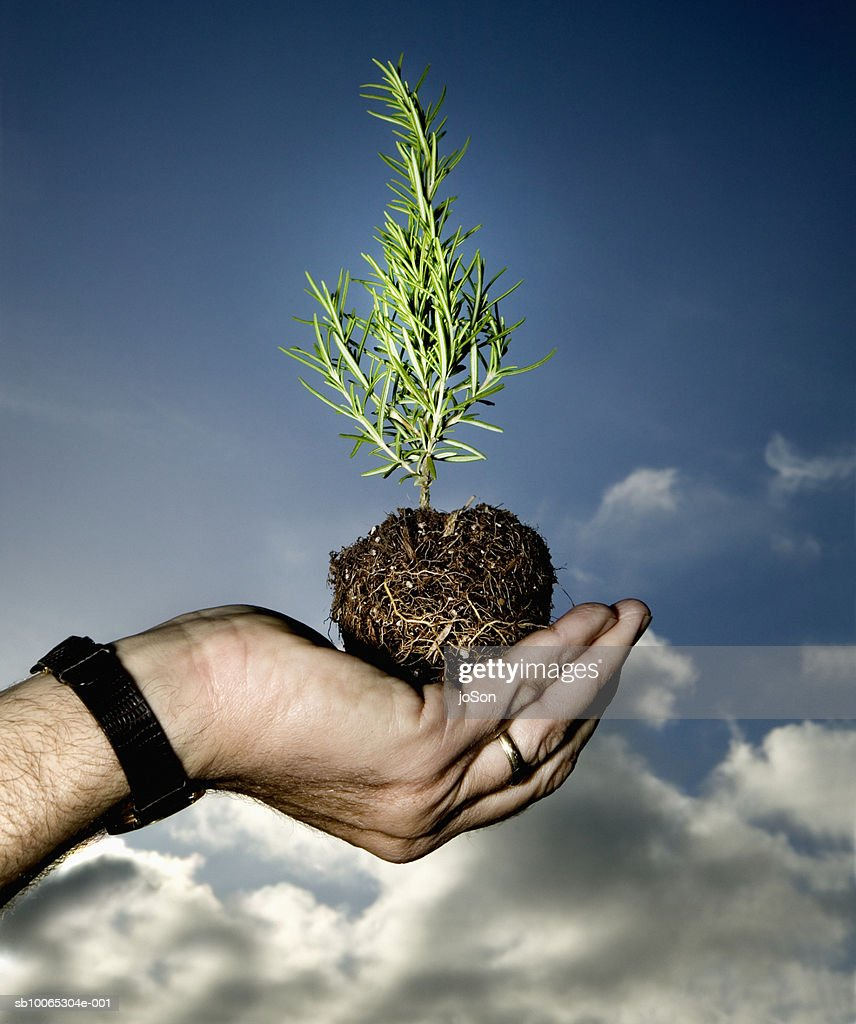 Man holding rosemary seedling, close-up of hand : Foto stock