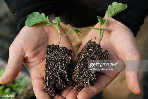 Man holding small broccoli plants with pot-shape roots with dirt, close-up of hands