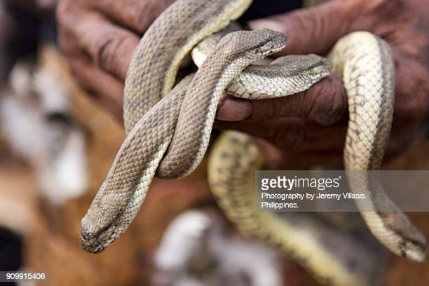 man holding snakes, ati-atihan festival, philippines - dinagyang festival stock photos and pictures