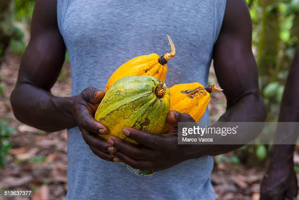 Man holding three cocoa ripe fruit