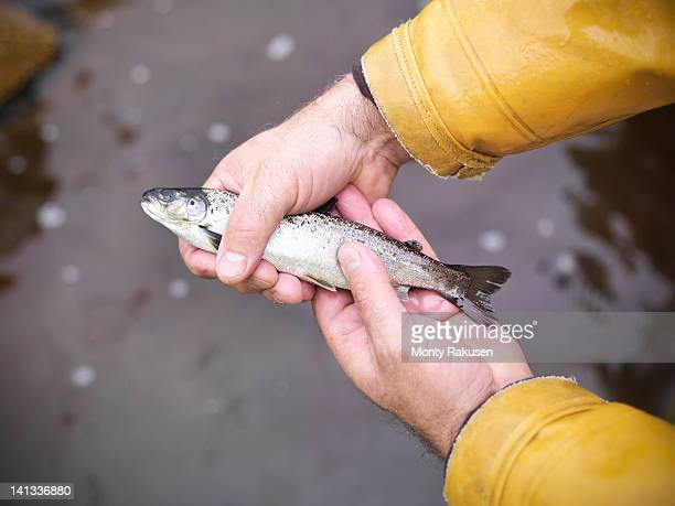 Man holding young hand reared, sustainably fed, fresh salmon from Scottish salmon farm