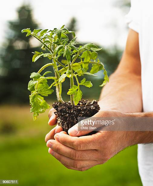 Man holding young tomato plant in cupped hands.