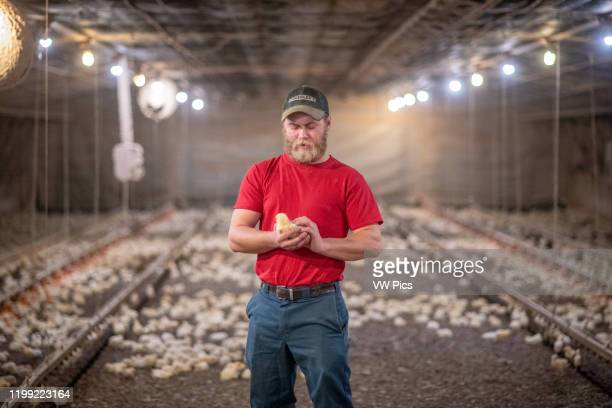 Man holds a baby chick in his hands inside of chicken house Henderson MD