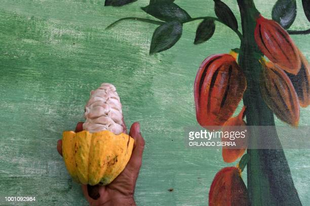 A man holds a cacao pod cut to reveal beans at a plantation in Jutiapa municipality 300 kms north of Tegucigalpa on July 8 2018 Honduran cacao...