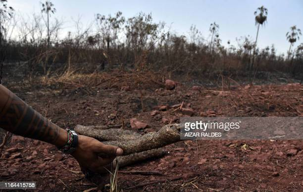 TOPSHOT A man holds a dead snake at an area afected by forest fires in Otuquis National Park in the Pantanal ecoregion of Bolivia southeast of the...