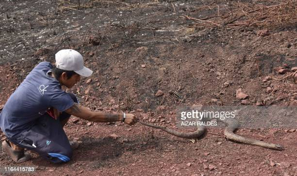 A man holds a dead snake at an area afected by forest fires in Otuquis National Park in the Pantanal ecoregion of Bolivia southeast of the Amazon...