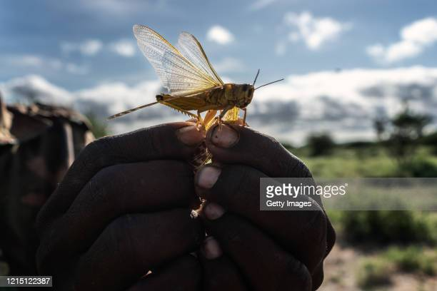 A man holds a desert locust in his hand on May 21 2020 in Samburu County Kenya Trillions of locusts are swarming across parts of Kenya Somalia and...