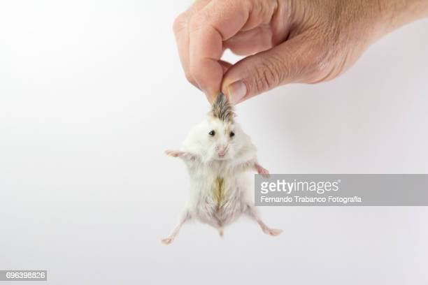 man holds a hamster by hair - tame stock photos and pictures