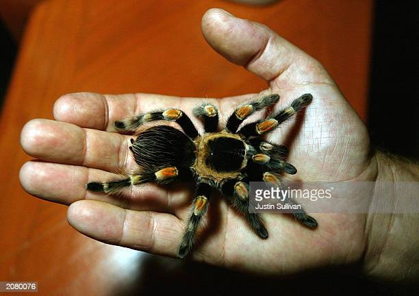 A man holds a Mexican RedLegged tarantula at the San Francisco Zoo June 13 2003 in San Francisco The recent epidemic of Monkeypox in the US which was...