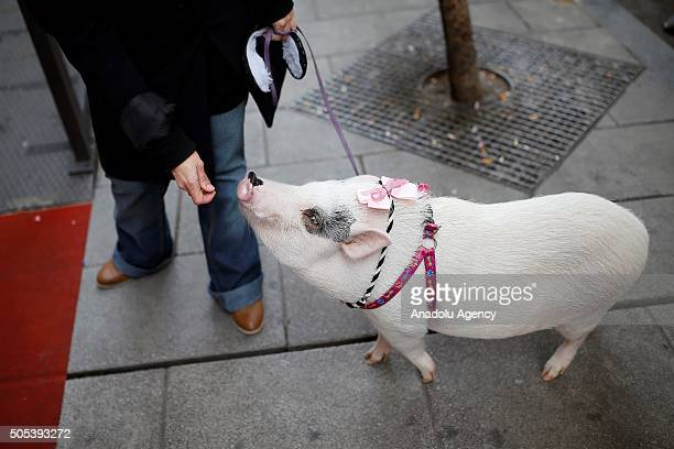 A man holds a pig in front of the San Anton Church in Madrid Spain on Saint Anthony's day dedicated to the animals by Spanish Christians on January...