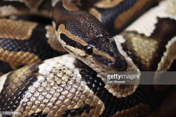 Man holds a Python in the 'Python Temple' on January 7, 2012 in Ouidah, Benin. Ouidah is Benin's Voodoo heartland, and thought to be the spiritual...