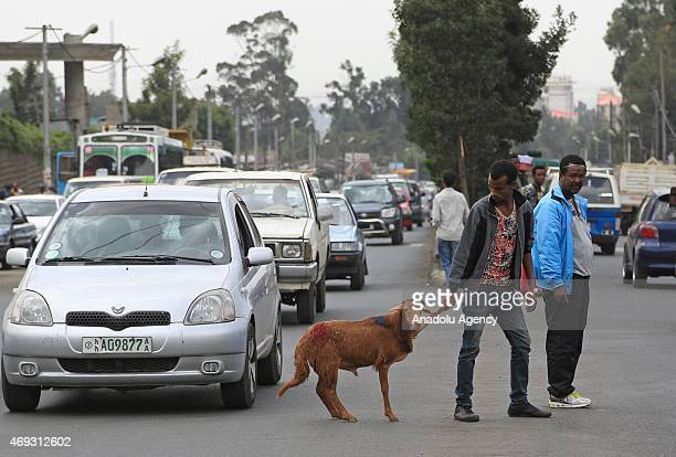 A man holds a sheep as the Ethiopian Orthodox Christians arrive at Sholla livestock market to shopping during the Holy Saturday ahead the Easter in...