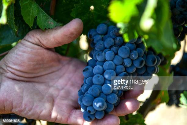 A man holds grapes at a vineyard on August 28 2017 in Canakkale On the verdant fertile Gallipoli peninsula in northwest Turkey headscarfclad women in...