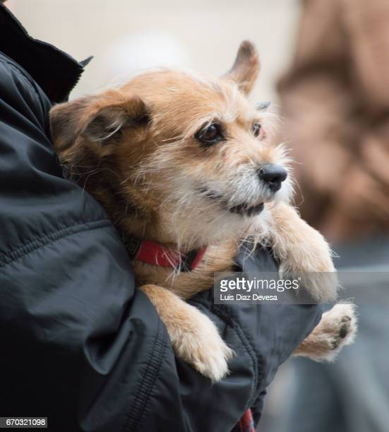 man holds his dog in hands - female hairy arms stock photos and pictures