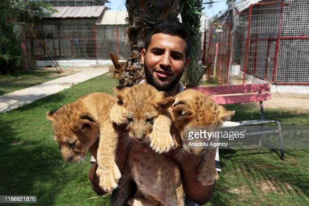 A man holds the three newborn cubs at a zoo in Rafah Gaza on September 08 2019 A mother lion at a zoo in Gaza Strip gave birth to three healthy cubs...