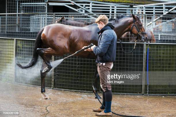 man hosing down a thoroughbred horse after exercising. - thoroughbred horse stock pictures, royalty-free photos & images