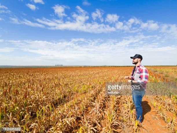man in a sorghum plantation. researcher. - sorghum stock pictures, royalty-free photos & images