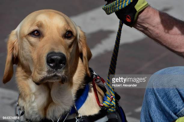A man in a wheelchair pets his service dog a Golden Retriever in Santa Fe New Mexico