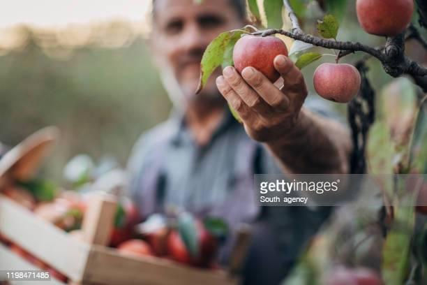 man in apple orchard - plukken stockfoto's en -beelden