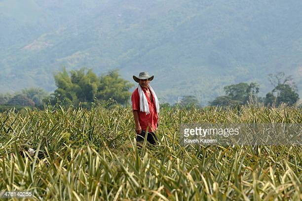 Man in charge of the laborers seen in the middle of a large pineapple plantation on January 17, 2014 outside Pereira, Colombia.