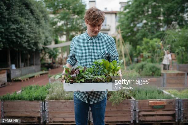 man in garden holding tray of plants - urban garden stock pictures, royalty-free photos & images