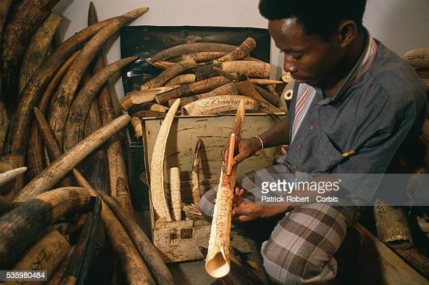 A man in Kinshasa marks a confiscated elephant tusk with a pen to document where and when it was seized Poaching and the illegal trafficking of ivory...