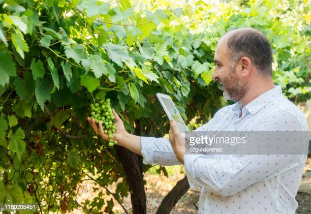 man in wineyard - wineyard stock photos and pictures