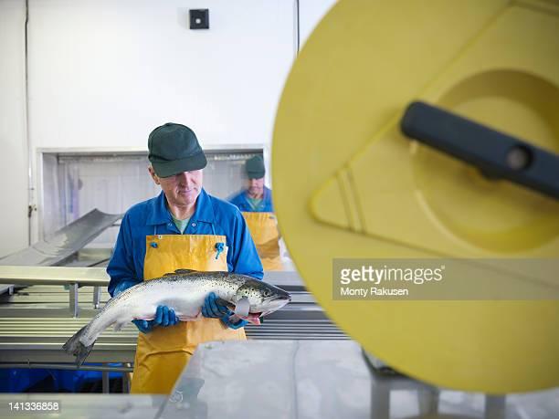 Man inspecting hand-reared Scottish salmon  on production line of fish farm