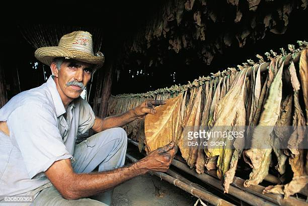 A man inspecting the tobacco leaves which were hung up to dry Pinar del Rio Cuba