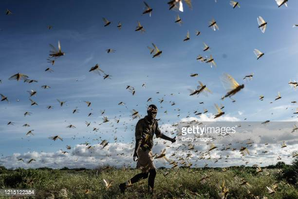 Man is chasing away a swarm of desert locusts early in the morning, on May 21, 2020 in Samburu County, Kenya. Trillions of locusts are swarming...