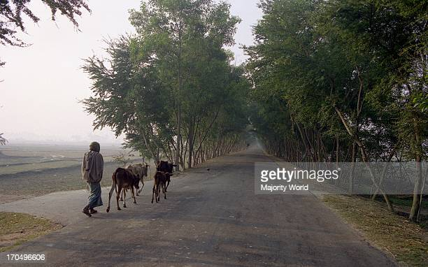 A man is passing rural street with cows Still in our country this is the main method of ploughing in the field Luxmipur Bangladesh