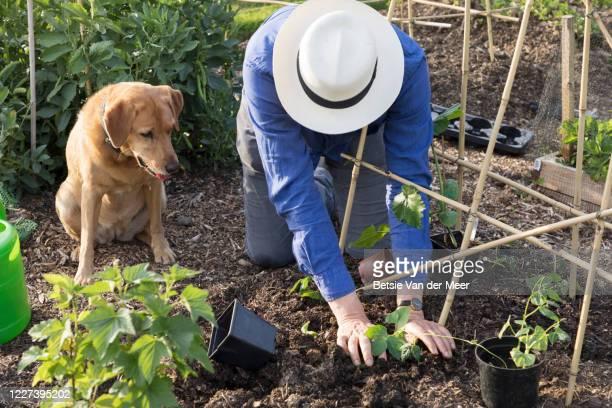 man is planting bean seedlings in garden while dog is looking on. - bohnenranke stock-fotos und bilder