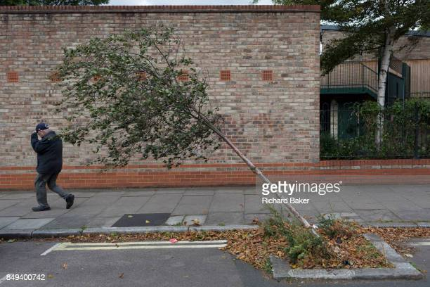 Man is pushed along the pavement on a windy day, walking past a bent young tree leaning at 45 degrees in a south London side street, on 11th...