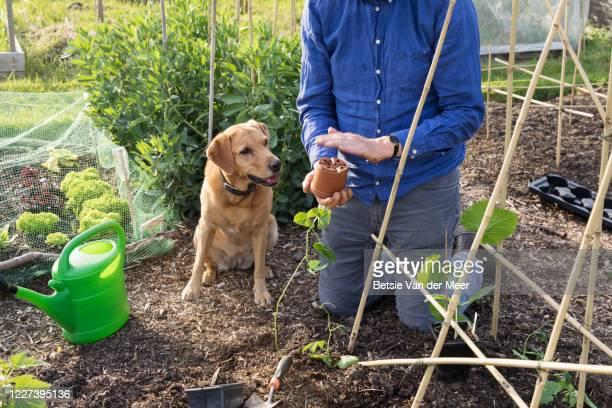 man is removing bean plant from pot to plant in garden, dog is looking on. - bohnenranke stock-fotos und bilder