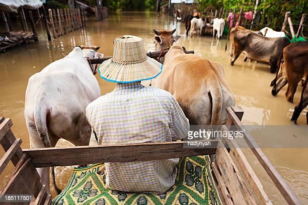 mann liegt auf einer kuh einkaufswagen während die überschwemmung - ox cart stock-fotos und bilder